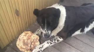 Собака алабай хрустит лепешками