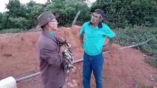 Seu Mané vende o boi de seu Antonio muito barato.
