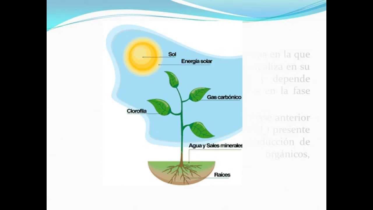 Fotosíntesis, Cadena alimenticia y Pirámide de..