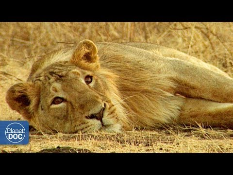 Full Documentary | Gir: Last shelter of the Asian lion