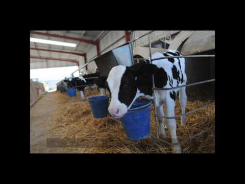 This Is Dairy (non-graphic) - Why Being Vegetarian Isn't Enough