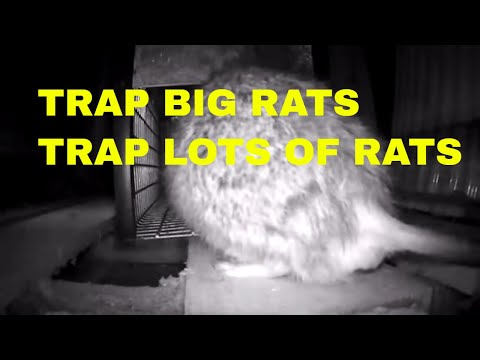 GIANT RAT TRAPPED IN HUMANE TRAP. LOTS OF SMALL ONES TOO