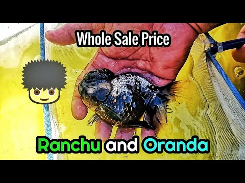 Ranchu And Oranda For Sale