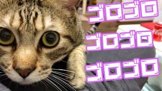 茶トラ猫【きんた】オス 1歳 去勢済 きんた初投稿動画 かわいい子猫が我...