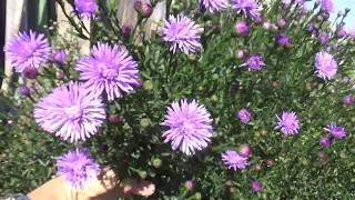 видео Многолетняя астра - цветок осени
