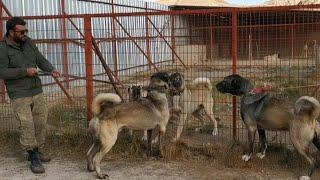 Kangal Panterlerin ATIŞMASI HEPSİ LİDER BİZİZ DEDİLER