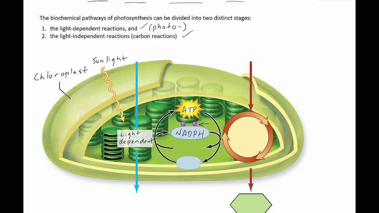 Stages of photosynthesis youtube stages of photosynthesis ccuart Images