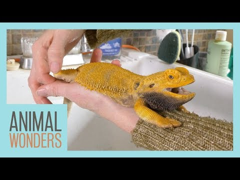 Keeping A Bearded Dragon Healthy | Femoral Pores |