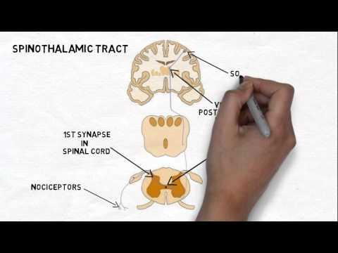 2-Minute Neuroscience: Pain and the Anterolateral System