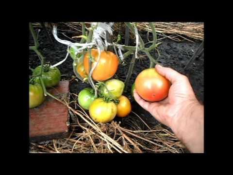 Как я выращиваю помидоры в открытом грунте