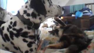 Dalmatian And New Calico Kitten - Love Is A Many Spotted Thing