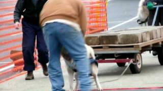 Dog Pull Competition - Cool Or Cruel?