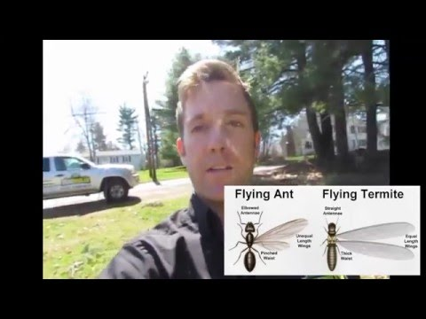 Flying Termites vs Flying Ants | Pest Control Grafton, MA | Bug Bully Pest Control