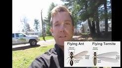 Flying Termites vs Flying Ants | Pest Control Grafton, MA | Bug Bully Pest Control