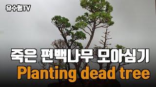죽은 편백나무 살리기!!