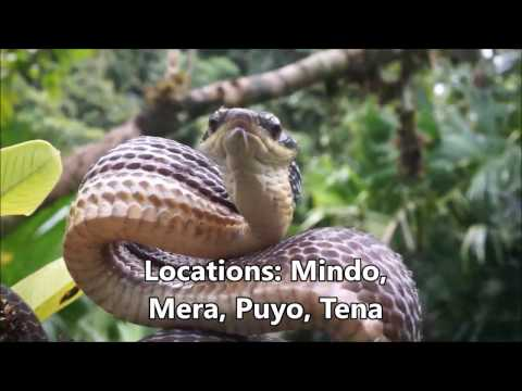 Herping Ecuador: the Cloud Forest and the Amazon