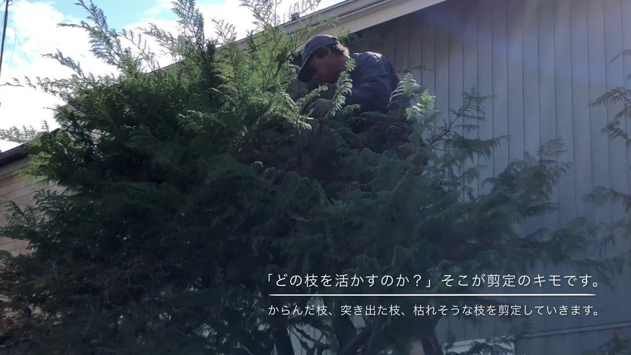 隣家に伸び出したサワラの剪定 モジャモジャ暴れる木を小さく育てる