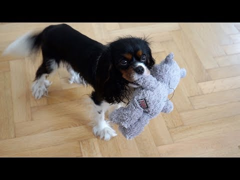 Rainy Days at Home with a Dog | Cavalier King Charles Spaniel