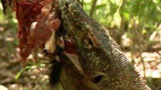 Komodo Dragons Attack! - Deadly 60 - Indonesia - Series 3 - BBC