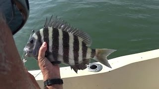 Big Fattie Sheepshead