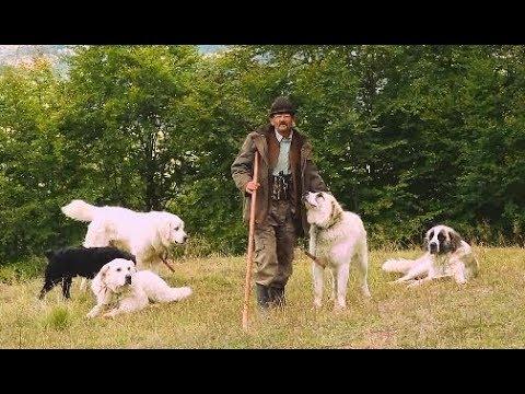 Stâna Lui Tăbucu Din Șurdești | 540 De Oi și Câini Ciobănești | Munții Gutâi - Cavnic - Video 2019