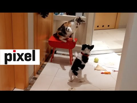 Pixel the Bulldog vs Czika the Cat - Round 4