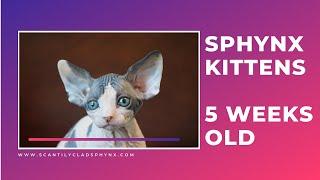 Saya's Sphynx Kittens - 5 weeks old!