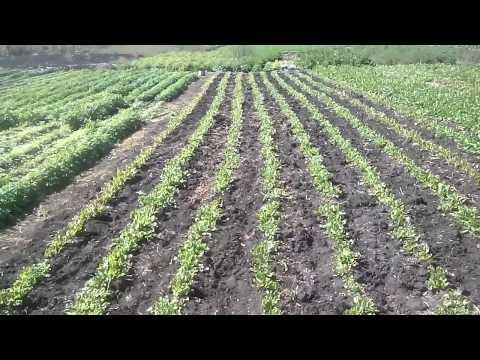 Выращивание зелени, краткий обзор.