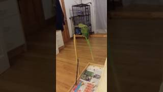 My parrot demonstrates potty training