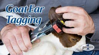 Goat Ear Tagging - American Goat Federation