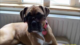Roxstar the Boxer - a boxer dog diary