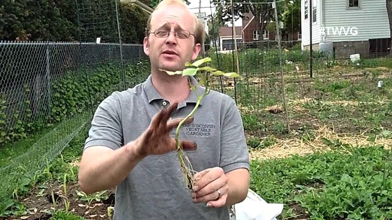 planting sweet potato slips Part - 15:  planting sweet potato slips awesome design