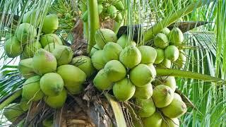 inilah kisah asal mula pohon kelapa