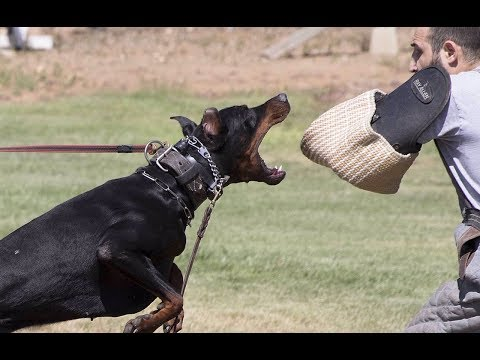 EUROPEAN DOBERMAN PINSCHER DOGUMENTARYTV UPDATE