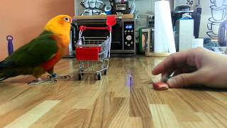 Mickey the Jenday conure tricks (bloopers)