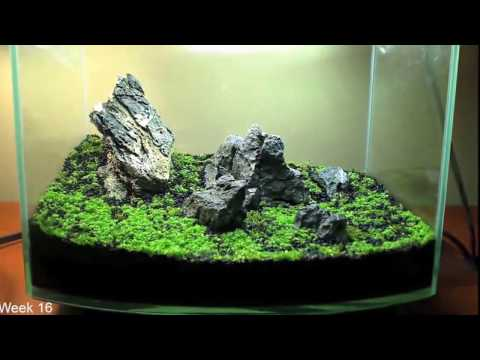 "Awesome Timelapse... Planting Hemianthis Callitrichoides ""CUBA"" - Aquascape Care"