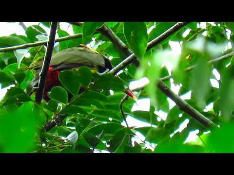 tawny-tufted toucanet, Selenidera nattereri, Mitu (Vaupes), amazonian birds (Cotingas and Toucans)