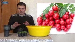 видео Как вырастить на подоконнике помидоры?