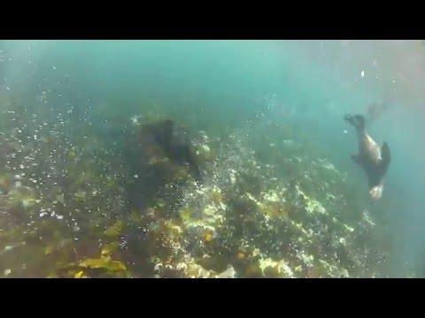 Plavanje s tjulnji v Južni Afriki