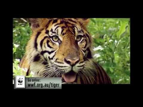 Adopt A Tiger Today - Help WWF Double The Number Of Tigers In The Wild By 2022