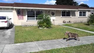 South Florida K-9 Specialist Weimarener Obedience