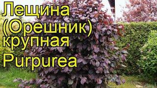 Лещина крупная Purpurea. Краткий обзор, описание характеристик, где купить крупномеры, саженцы