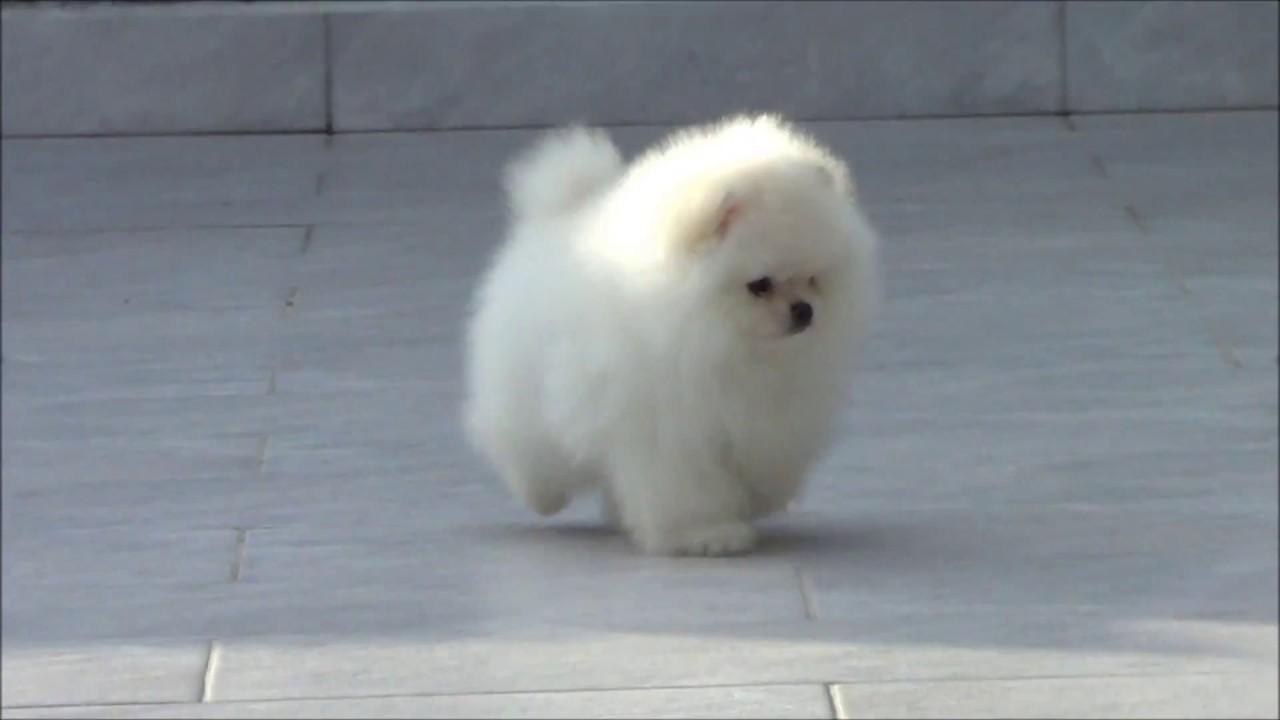 CHIOT SPITZ NAIN POMERANIEN bébé pom blanc - YouTube