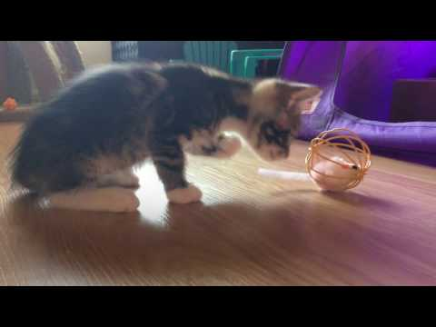 Cute Kittens Determined to Get Mouse Out of Cage!