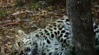 Самка леопарда, ставшая звездой реалити-шоу, станцевала на камеру