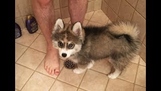 A Husky And A Pomeranian Had A Puppy Together And People Can't Get Enough Of Him