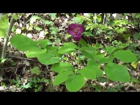 Лекарственные растения. Пион кавказский / Paeonia caucasica