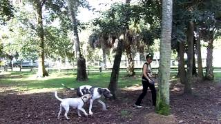 Deaf Dog Training Great Dane Tosca Off Leash At The Dog Park Dogtra Pager