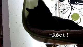 猫あるあるのひとつかと(笑) 脚光のせいで黒猫クッキーがよけいにまっくろになって わかりにくくなってしまいました(^_^;)