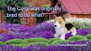 Corgi Animal Quiz